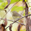 Orange-crowned Warbler <br /> Tower Grove Park, St. Louis
