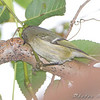 Ruby-crowned Kinglet <br /> Tower Grove Park, St. Louis