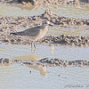 American Golden Plover <br /> Missouri Bottom Road