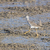 Greater Yellowlegs <br /> Missouri Bottom Road