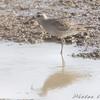 American Golden Plover <br /> Missouri Bottom Road