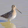 Wilson's Snipe <br /> Missouri Bottom Road