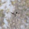 Merlin  <br /> Missouri Bottom Road <br /> Bridgeton, Missouri <br /> <br /> No. 216 on my Lifetime List of Bird Species <br /> Photographed in Missouri.