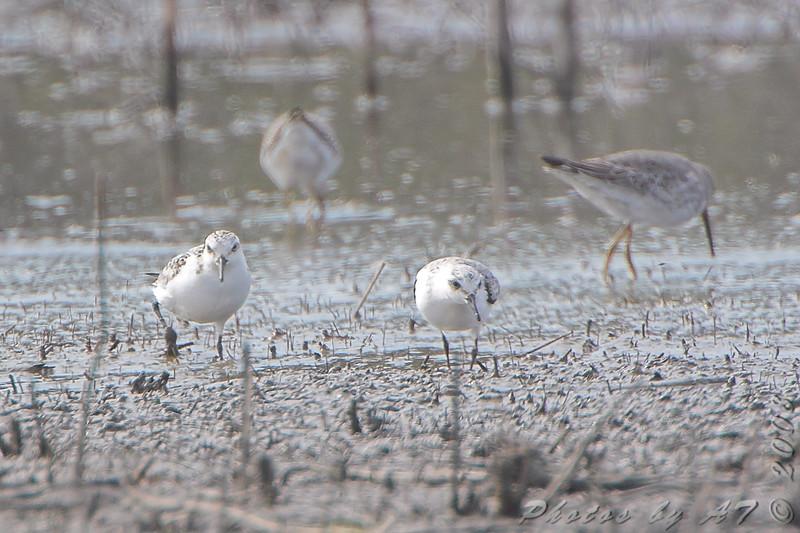 Sanderlings <br /> B.K. Leach Memorial Conservation Area