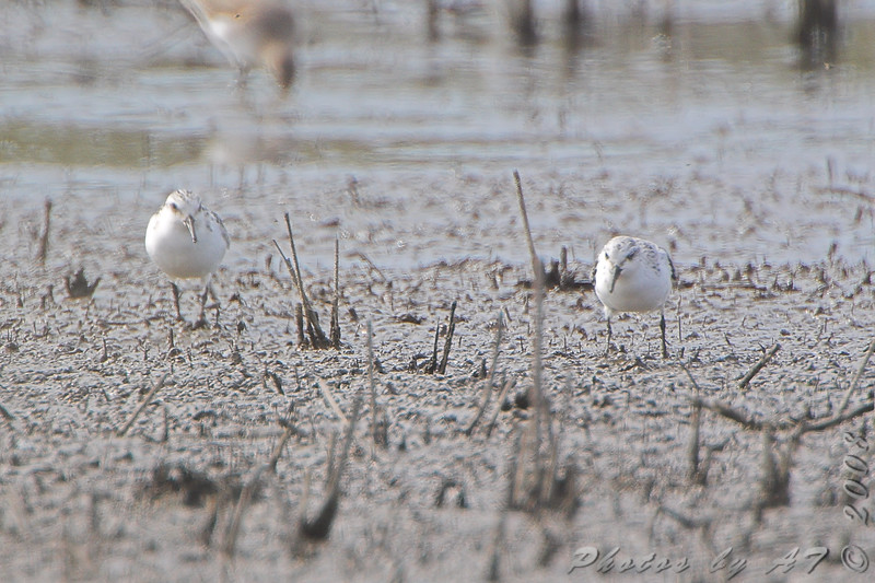 Sanderlings <br /> B.K. Leach Memorial Conservation Area