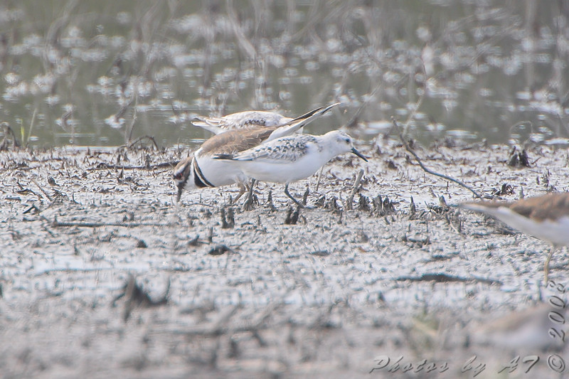 Sanderlings and Killdeer<br /> B.K. Leach Memorial Conservation Area