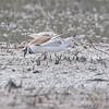 Sanderlings and Killdeer<br /> B.K. Leach Memorial Conservation Area