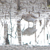 Least Sandpiper <br /> B.K. Leach Memorial Conservation Area