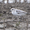 Sanderling <br /> B.K. Leach Memorial Conservation Area