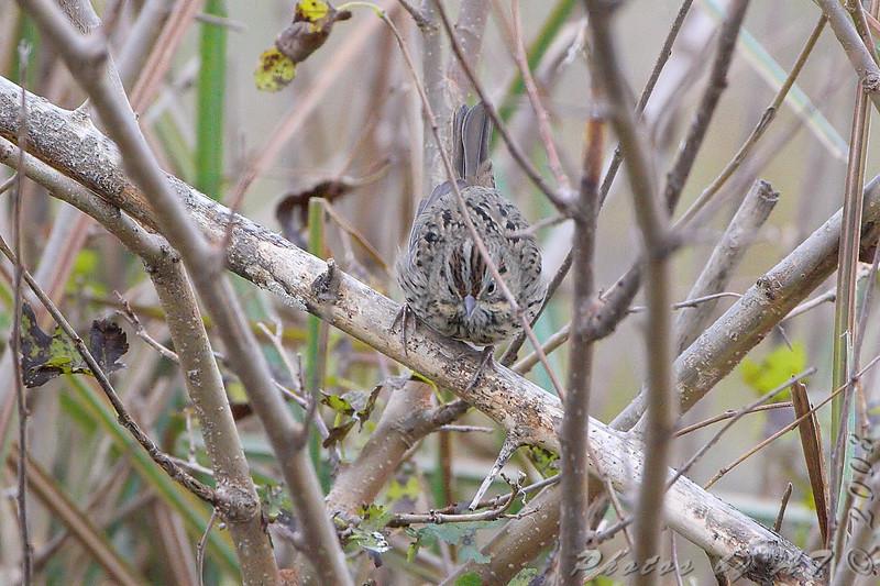 Lincoln's Sparrow? <br /> Riverlands Migratory Bird Sanctuary