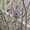 Lincoln's Sparrow? <br /> Riverlands Migratory Bird Sanctuary