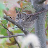 Lincoln's Sparrow <br /> Riverlands Migratory Bird Sanctuary
