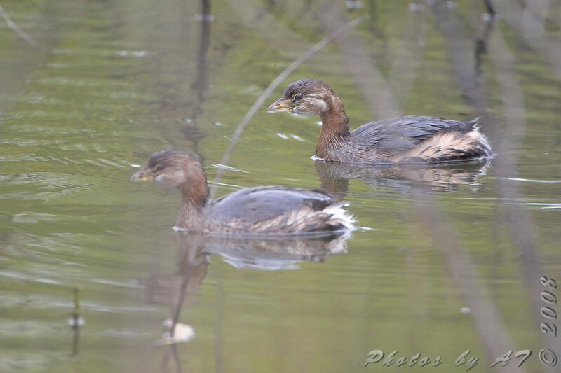 Pied-billed Grebe <br /> Riverlands Migratory Bird Sanctuary