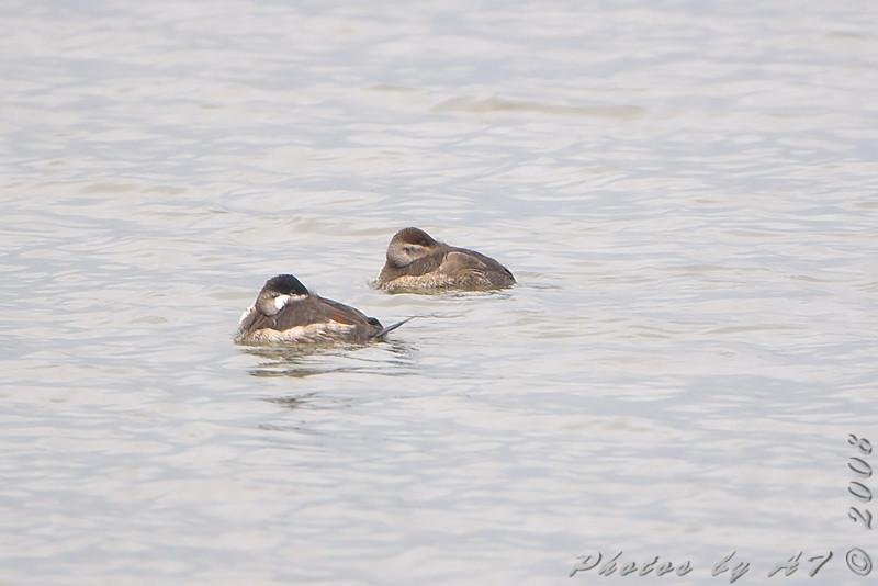 Ruddy Ducks <br /> Riverlands Migratory Bird Sanctuary