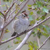 White-crowned Sparrow <br /> Riverlands Migratory Bird Sanctuary