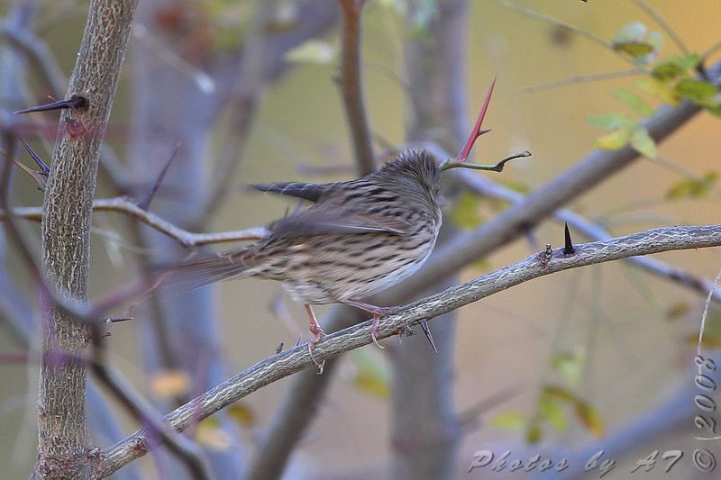 I'm out'a here <br /> Lincoln's Sparrow <br /> Riverlands Migratory Bird Sanctuary