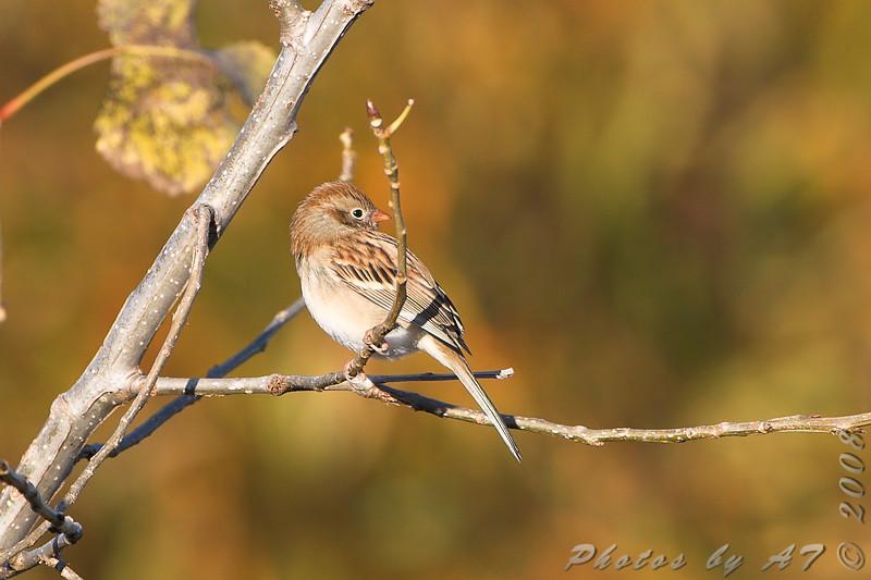 Field Sparrow <br /> Riverlands Migratory Bird Sanctuary