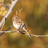 Field Sparrow <br /> Riverlands Migratory Bird Sanctuary