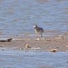 Black-bellied Plover <br /> Riverlands Migratory Bird Sanctuary
