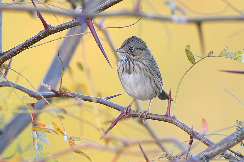 Lincoln's Sparrow <br /> Riverlands Migratory Bird Sanctuary