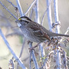 White-throated Sparrow <br /> Riverlands Migratory Bird Sanctuary