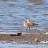 Dunlins  <br /> Riverlands Migratory Bird Sanctuary