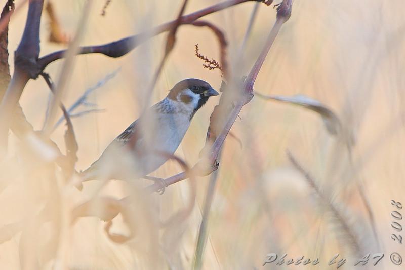 Eurasian Tree Sparrow <br /> Riverlands Migratory Bird Sanctuary