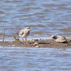 Black-bellied Plover <br /> Riverlands Migratory Bird Sanctuary