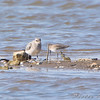 Black-bellied Plover and Dunlin <br /> Riverlands Migratory Bird Sanctuary
