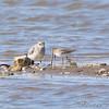 Black-bellied Plover and Dunlin <br /> Riverlands Migratory Bird Sanctuary