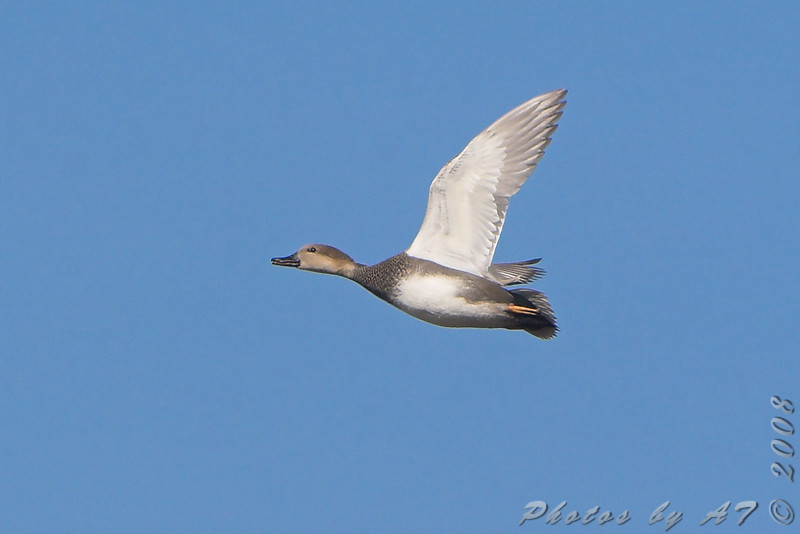 Gadwall <br /> Riverlands Migratory Bird Sanctuary