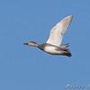 Gadwall <br /> Riverlands Migratory Bird Sanctuary