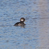 Bufflehead (female) <br /> Riverlands Migratory Bird Sanctuary