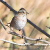 Closes I could find is a very lightly marked Lincoln's Sparrow.<br /> Riverlands Migratory Bird Sanctuary