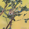 Fox Sparrow <br /> Riverlands Migratory Bird Sanctuary