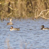 Green-winged Teal and Ring-necked Duck <br /> Riverlands Migratory Bird Sanctuary