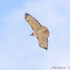 Red-tailed Hawk <br /> Riverlands Migratory Bird Sanctuary