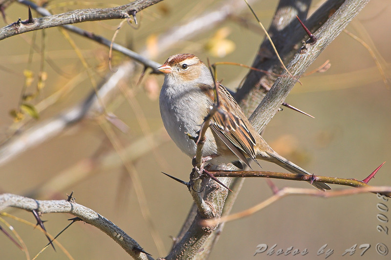 White-crowned Sparrow <br /> Riverlands Migratory Bird Sanctuary
