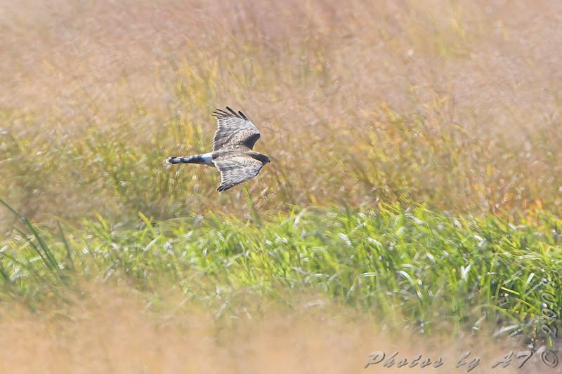 Northern Harrier <br /> Riverlands Migratory Bird Sanctuary
