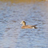American Wigeon<br /> Riverlands Migratory Bird Sanctuary