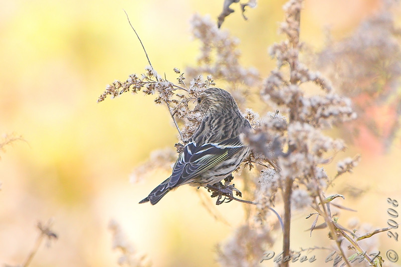 Pine Siskin <br /> Creve Coeur Marsh
