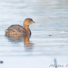 Pied-billed Grebe <br /> Creve Coeur Marsh