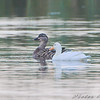 White duckie and companion <br /> Creve Coeur Marsh