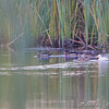 White duckie and companion and Wood Ducks <br /> Creve Coeur Marsh