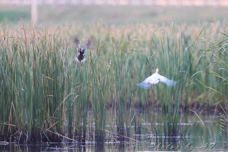 White duckie and companion <br /> Creve Coeur Marsh