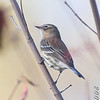 Yellow-rumped Warbler <br /> Creve Coeur Marsh