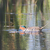 Green-winged Teal <br /> Creve Coeur Marsh