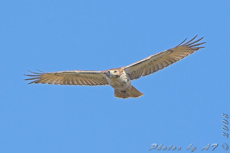 Red-tailed Hawk <br /> Creve Coeur Marsh