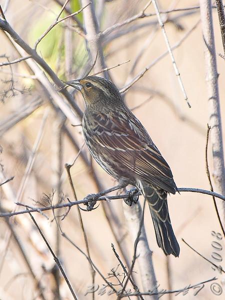 Red-winged Blackbird female <br /> Creve Coeur Marsh