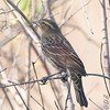 Red-winged Blackbird female <br /> Creve Coeur Marsh